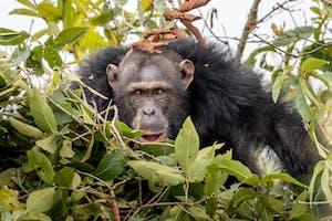 Chimp Habituation Project