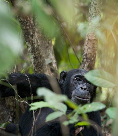 Chimpanzee In Mahale Mountains