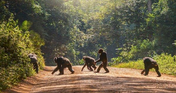 Chimps Walking Across A Track In Uganda