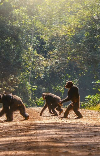 Chimps Walking Across A Track In Uganda
