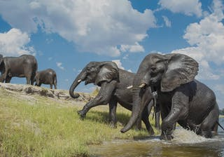 Chobe Game Lodge Elephants