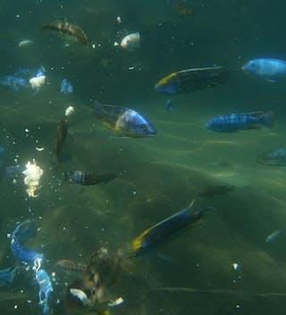 Colourful Fish In Lake Malawi