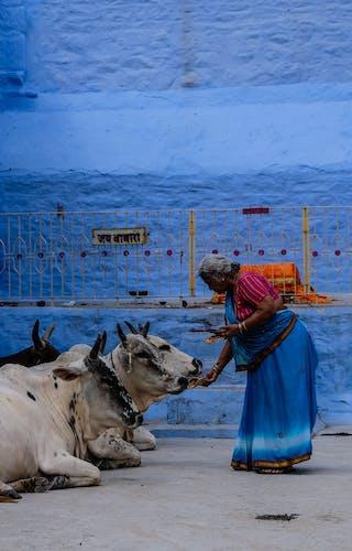 Cows In Jodhpur
