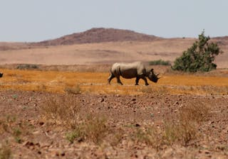 Damaraland Desert Black Rhinos  Margo