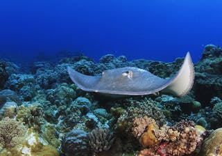 Diving In Mozambique Sting Ray