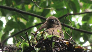 Dwarf Ibis Nesting Close Up Lavinia Burnham