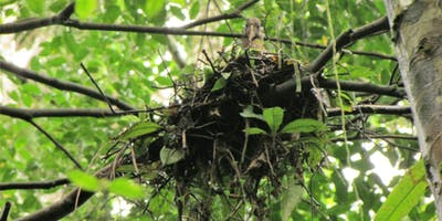 Dwarf Ibis Nesting Lavinia Burnham