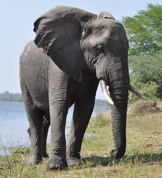 Elephant In Liwonde