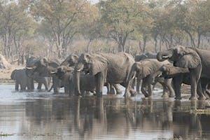 Elephants  Moremi Game Reserve