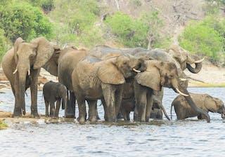 Elephants In  Chobe  National  Park