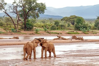 Elephants Mock Fighting In Samburu National Reserve