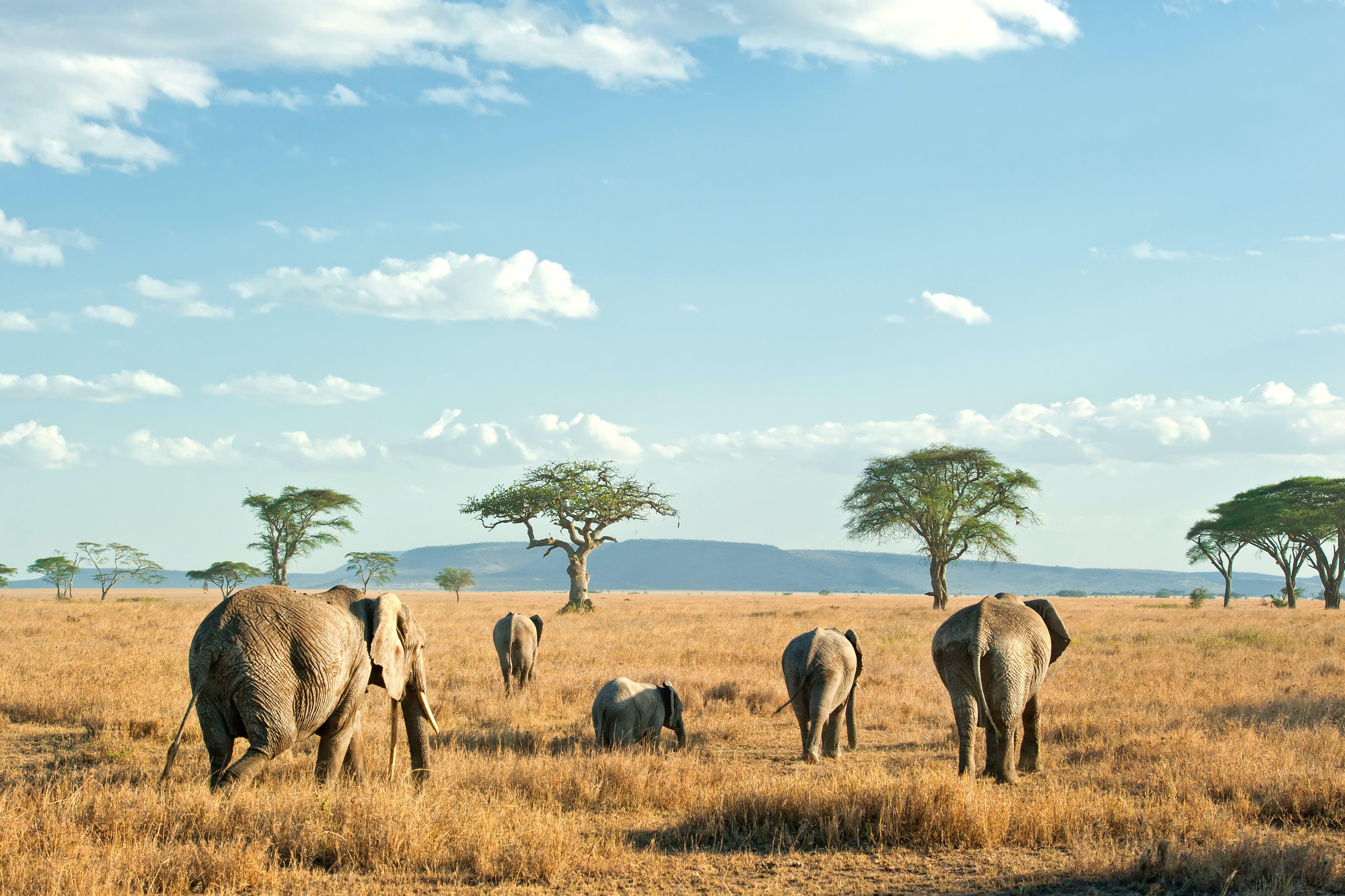 Elephants On The Serengeti Plains In Tanzania