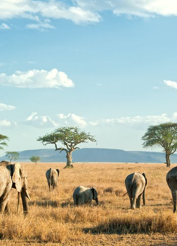 Elephants On The Serengeti Plains In Tanzania
