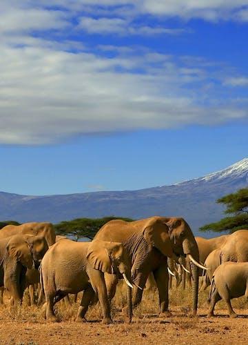 Elephants Wander Near Kilimanjaro Tanzania