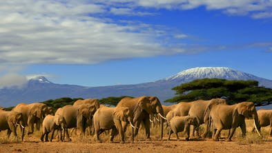 Elephants Wander Near Kilimanjaro