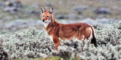 Ethiopian  Wolf  Eto