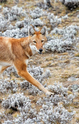 Ethiopian Wolf In Bale Mountain National Park