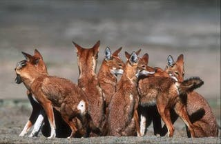 Ethiopian Wolf Pack