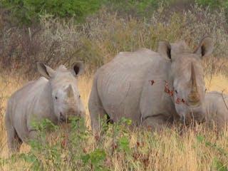 Etosha White Rhino And Calf Margo