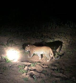 Eva Leopard Safari