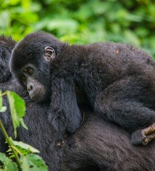 Female Mountain Gorilla With Baby In Bwindi Copy