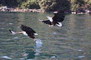 Fish Eagles Over Lake Malawi