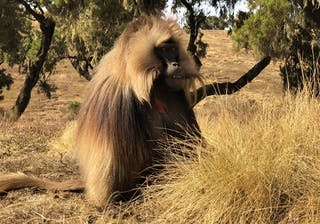 Gelada In Simien Mountains