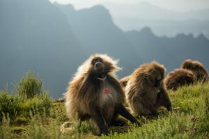 Geladas In The  Simien  Mountains Near  Limalimo