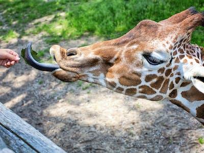 Giraffe Feeding At Nairobi Giraffe Centre In Kenya