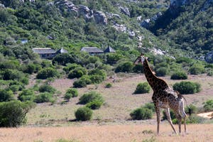 Giraffe Wandering Past  Woodbury  Lodge  Amakhala  Game  Reserve  South  Africa
