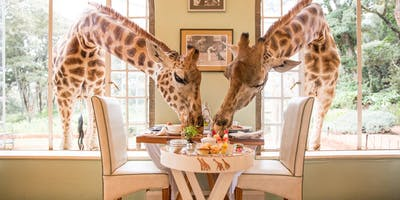 Giraffes Come To Breakfast At Giraffe Manor