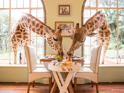 Giraffes Come To Breakfast At Giraffe Manor