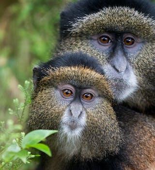 Golden Monkeys In Volcanoes National Park Copy