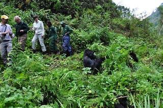 Gorilla Tracking C Volcanoes National Park Website