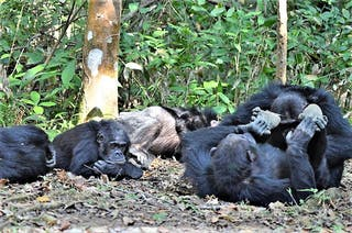 Greystokes Mahale Chimps On Ground - Craig Kaufman