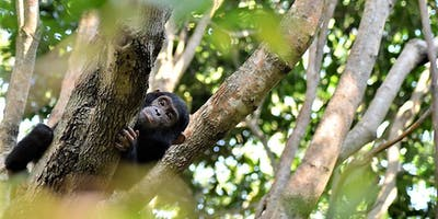 Greystokes Mahale Chimp In Tree - Craig Kaufman