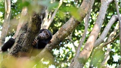 Greystokes Mahale Chimp In Tree - Craig Kaufman