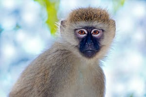 Grivet Monkey In Ethiopia