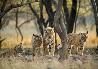 Group Of Tigers At Ranthambore