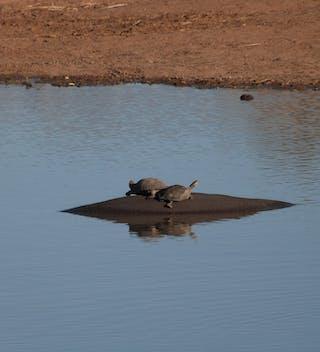 Hippo Tortoises At Umlani
