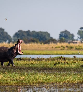 Hippo On The Banks Of Chobe River