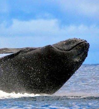 Humpback Whale Watching On St Helena