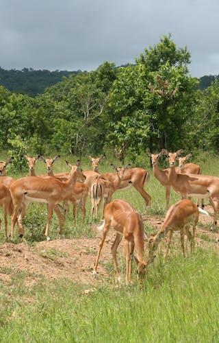 Impala In Mikumi National Park