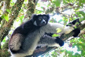 Indri At  Andasibe  Karen  Coppock