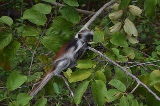Jozani National Forest Colobus Monkey