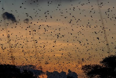 Kasanka Bat Migration