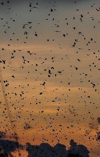 Kasanka Bat Migration