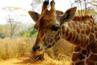 Kelly The Giraffe At Nairobi Giraffe Centre