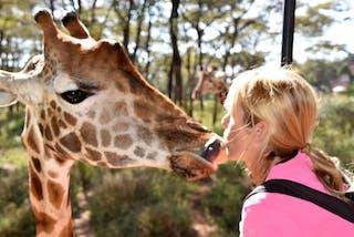 Kissing A Giraffe At Nairobi Giraffe Centre In Kenya