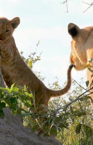 Lioness and Cub in Linyanti
